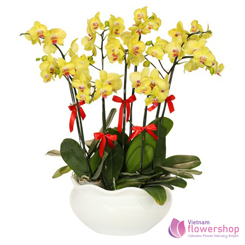 YELLOW PHALAENOPSIS DELIVERY IN VIETNAM