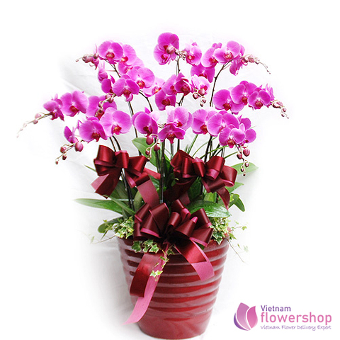 Violet phalaenopsis orchid plant delivery same day VN