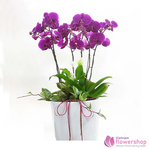 Send phalaenopsis orchid to Viet Nam