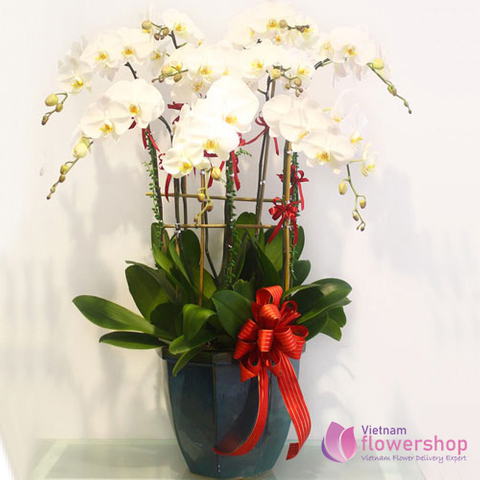 Phalaenopsis orchid delivery to Vietnam
