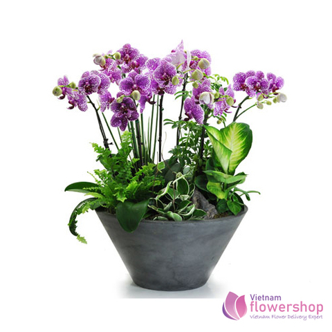 Orchid Plant Free shipping Vietnam