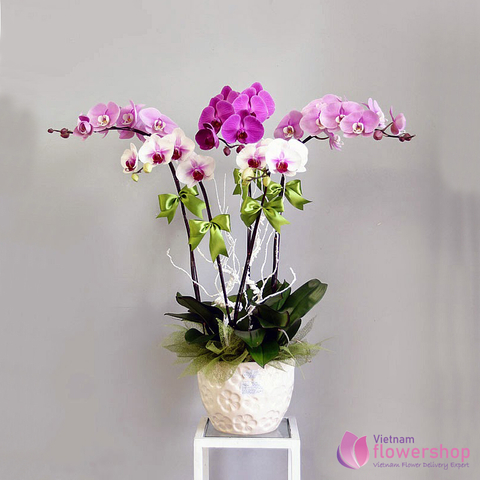 Mini Phalaenopsis Orchid Same Day Delivery