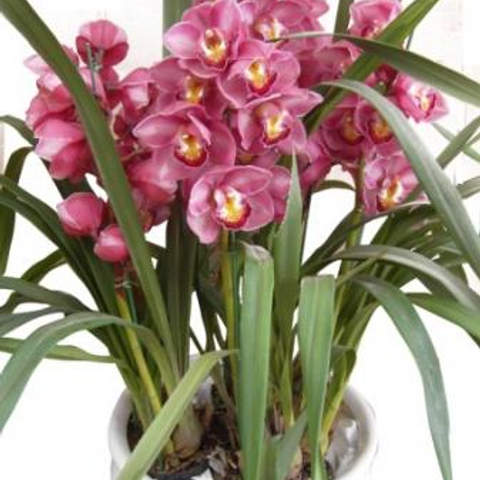 Send Cymbidium Flower To Vietnam